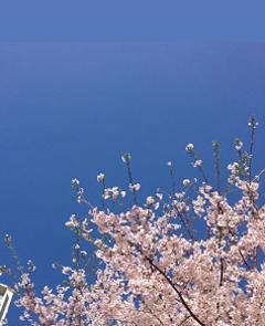 堀江公園でも桜が満開♪